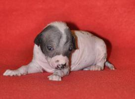Foto 3 Peruanischer Nackthund