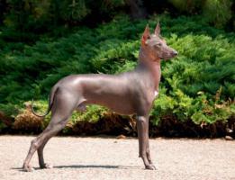 Foto 6 Peruanischer Nackthund