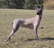 Foto 7 Peruanischer Nackthund