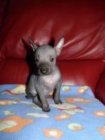 Foto 2 Peruanischer Nackthund