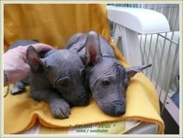 Peruanischer Nackthund Groß Welpen