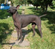 Foto 4 Peruanischer Nackthund Welpen mit Papiere