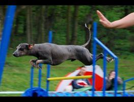Foto 5 Peruanischer Nackthund Welpen mit Papiere