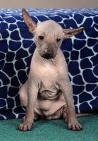 Foto 4 Peruanischer Nackthund - Perro sin pelo del Peru