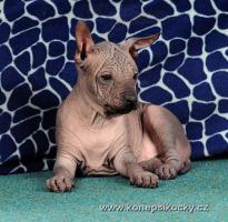 Foto 6 Peruanischer Nackthund - Perro sin pelo del Peru