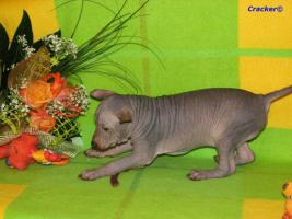 Foto 5 Peruanischer Nackthund - Perro sin pelo del Peru  - Welpen