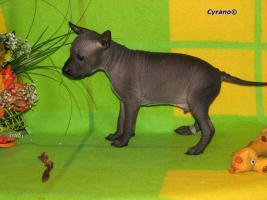 Foto 7 Peruanischer Nackthund - Perro sin pelo del Peru  - Welpen