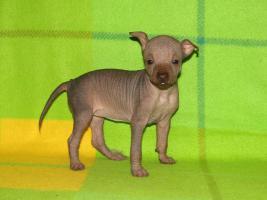 Foto 2 Peruanischer Nackthund - klein