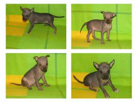 Peruanischer Nackthund - klein