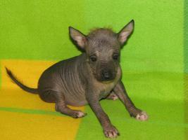 Foto 4 Peruanischer Nackthund - klein