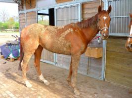 Foto 2 Pferd 4 j�hrige Vollblutstute