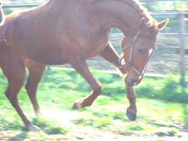 Foto 3 Pferd 4 j�hrige Vollblutstute