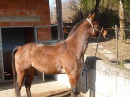 Pferd Quater Paint Stute