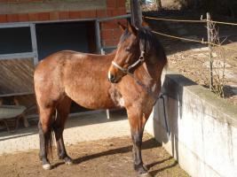 Foto 2 Pferd Quater Paint Stute