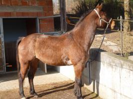 Foto 3 Pferd Quater Paint Stute