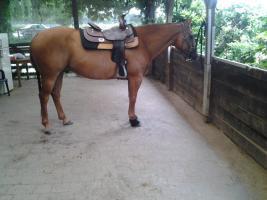 Pferd(Quarter Horses)