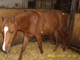 Pferd , Jungstute