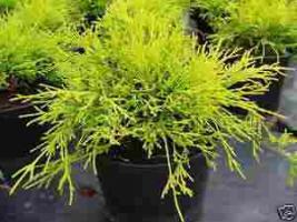 Foto 2 Pflanzen f�r den Garten , superg�nstig , auch Versand m�glich !
