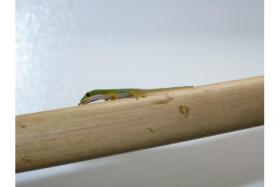 Phelsuma quadriocellata / Augenfleck-Taggecko
