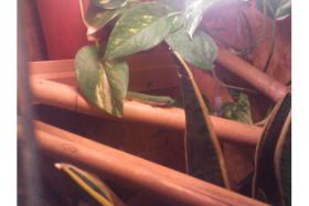 Foto 2 Phelsuma quadriocellata / Augenfleck-Taggecko