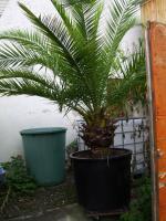 Phoenix Palme Canariensis
