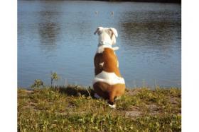 Foto 2 Pitbull - American Bulldog Mix !!NOTFALL!!