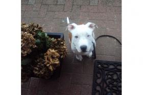 Foto 3 Pitbull - American Bulldog Mix !!NOTFALL!!