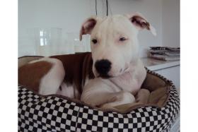 Foto 4 Pitbull - American Bulldog Mix !!NOTFALL!!