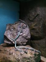 Foto 2 Platysaurus janssoni Babys eigene Nachzucht