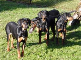 Foto 3 Polnischer Laufhund