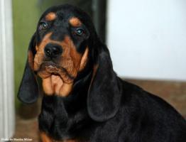 Foto 2 Polnischer Laufhund Welpen (Gonczy Polski)