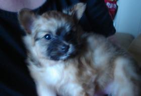 Foto 3 Pomeranian Deckrüde, auch für Chihuahua, Malteser, Minimops, u.a.