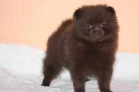 Foto 2 Pomeranian / Zwergspitz mit Papiere