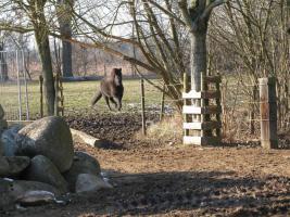Pony-Stute 4-jährig