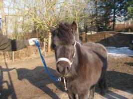 Foto 3 Pony-Stute 4-jährig