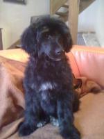 Portugiesische Wasserhund Welpen Pedigree FCI