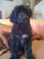 Foto 2 Portugiesische Wasserhund Welpen Pedigree FCI