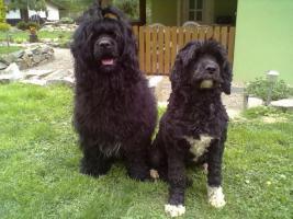Foto 3 Portugiesische Wasserhund Welpen Pedigree FCI