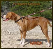 Portugiesischer Pointer - Perdigueiro - Hündin