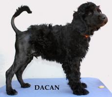 Foto 2 Portugiesischer Wasserhund