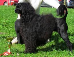 Foto 4 Portugiesischer Wasserhund