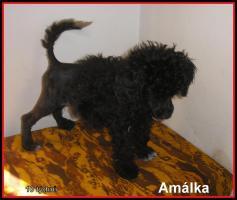 Foto 3 Portugiesischer wasserhund