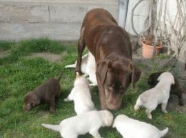 Prachtvolle und charaterstarke Labradorwelpen zur Abgabe