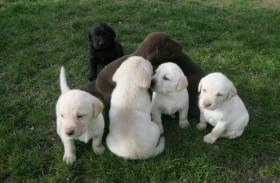 Foto 3 Prachtvolle und charaterstarke Labradorwelpen zur Abgabe