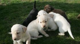 Foto 4 Prachtvolle und charaterstarke Labradorwelpen zur Abgabe