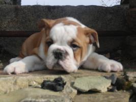 Prachtvolle und kerngesunde Englische Bulldoggen !!! Aus Hausaufzucht