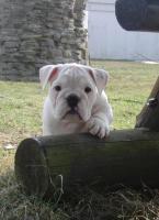Foto 2 Prachtvolle und kerngesunde Englische Bulldoggen !!! Aus Hausaufzucht