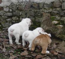 Foto 7 Prachtvolle und kerngesunde Englische Bulldoggen !!! Aus Hausaufzucht