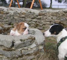 Foto 8 Prachtvolle und kerngesunde Englische Bulldoggen !!! Aus Hausaufzucht