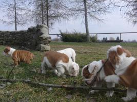 Foto 11 Prachtvolle und kerngesunde Englische Bulldoggen !!! Aus Hausaufzucht